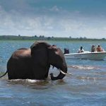 An elephant swimming in Lake Kariba with guests in a boat watching