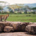 A leopard standing on rocks