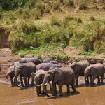 A herd of Elephant drinking at a river
