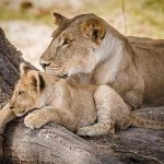 A lioness and cub rest on a tree