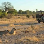 A pride of lions lying on the ground with vehicle close by