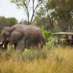 A Elephant standing in long grass feeding with people in a vehicle watching