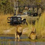 Lions in water with vehicle and people in background