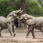 Two elephant playfully fighting at mana pools