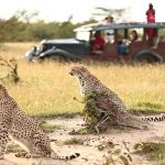 Two cheetah sitting on an open area of sand watched by people in a cehicle