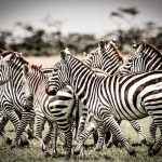 A dazzle of zebra in kenya