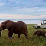 Two elephants grazing in green grass close to Bumi Hills