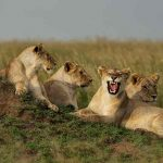 A pride of lions relaxing on a termite mound