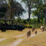 A pride of Lions and cubs walks past a vehicle in the Okavango