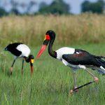 Two Saddle Billed Stork