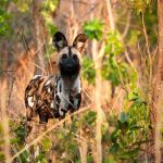 a wild dog looking at the camera in green bush