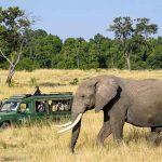 An Elephant walking on long grass