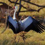 Wattled crane with wings spread