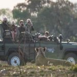 people in a game drive vehicle photographing a lioness
