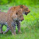 two leopards walking in the bush