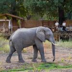an elephant walking past a deck with two people watching