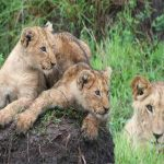Several young Lions lying on a termite mound