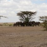 Herd of elephants under a tree in the Mara game reserve