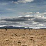 Encounter Mara giraffe scenery