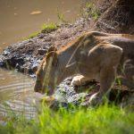 Encounter Mara lion drinking