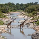 Giraffe crossing a river