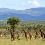 Herd of giraffe with hills and tress in background