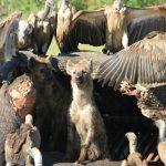 Hyena in a kill with vultures