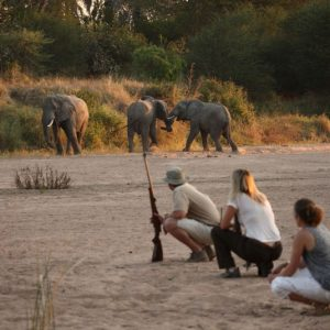 Jongomero guests on walking safari close to herd of elephants
