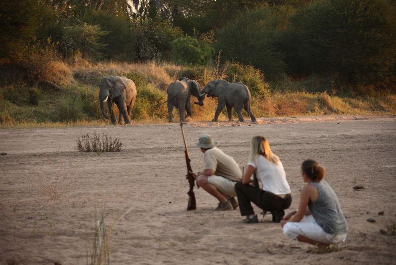 Jongomero guests on walking safari close to herd of elephants