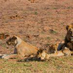Jongomero lion pride