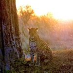 Kenya Ol Pejeta leaoprd in sunlight next to tree