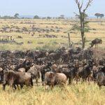Kimondo camp herd of wildebeest waiting to cross the river