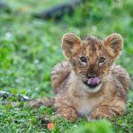 Lion cub lying in grass