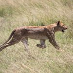 Lioness walking through grass