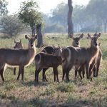 Several waterbuck antelope standing in an open plain in Africa
