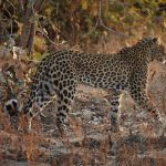 A Leopard walking through the dry African bush