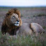 Male lion lying in grass