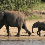 Two elephants walking next to a river