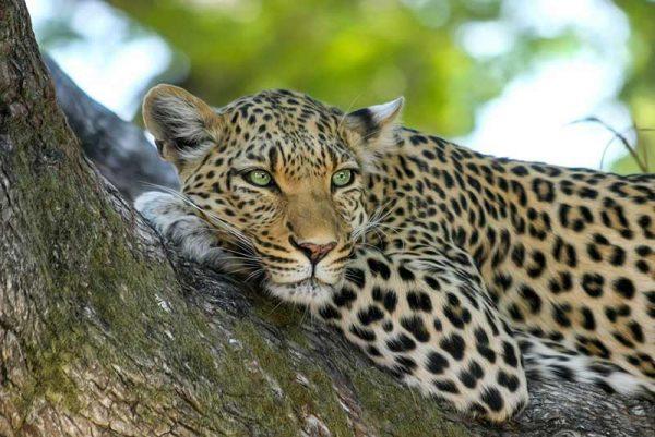 Linyanti leopard