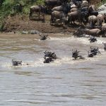 Olakira camp wildebeest crossing river in migration
