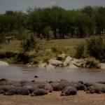 Olakira hippo basking on sand bank in river