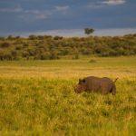 Rhino in open savanna