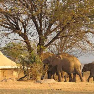 Sayari guest tent with elephants feeding nearby