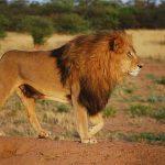Sayari male lion standing in dusty ground