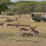 Siwandu game drive vehicle watching wild dogs