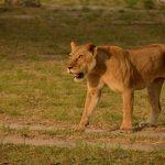 Siwandu lioness walking