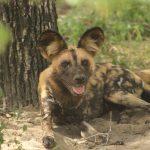 Siwandu wild dog lying in bushes