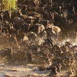 Ubuntu Camp wildebeest crossing the river