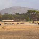 Ubuntu Camp wildebeest move past with mountains in background