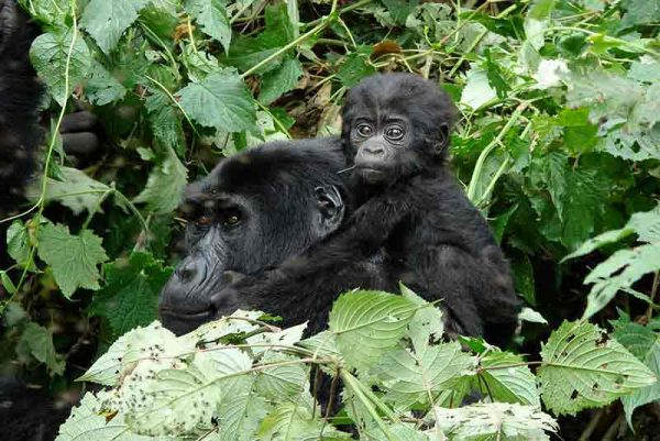 Baby gorilla on mothers back in the jungle